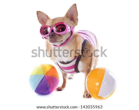 portrait of a cute purebred  chihuahua with swimming costume and sunglasses in front of white background - stock photo
