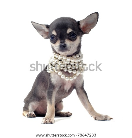 portrait of a cute purebred puppy chihuahua with pearl collar in front of white background - stock photo