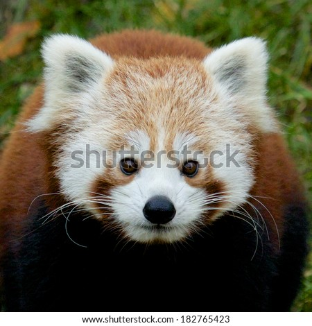 Portrait of a cute Red Panda, an endangered species from the Himalayas - stock photo