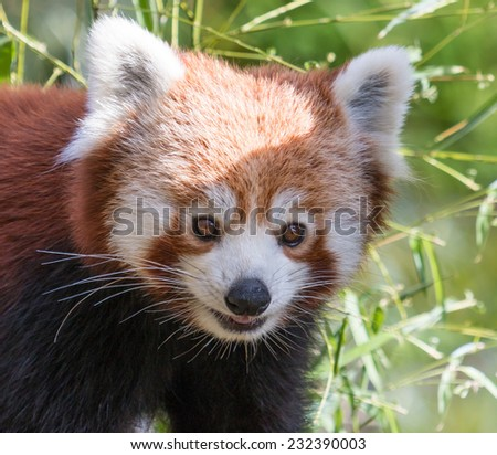 Portrait of a cute Red Panda, an endangered species of the Himalayas - stock photo