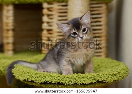 Portrait of a cute somali kitten in the house - stock photo