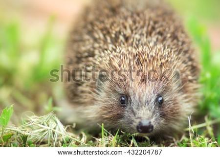 portrait of a cute spiny hedgehog - stock photo