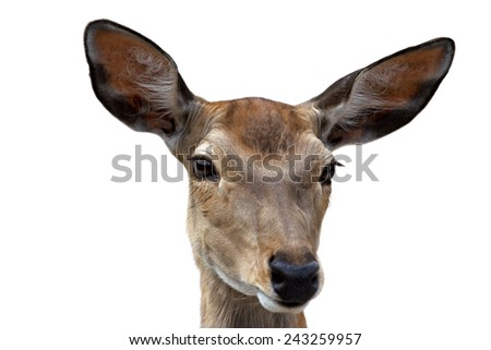 portrait of a deer on a white background - stock photo