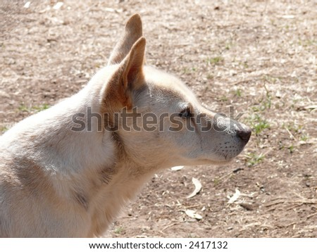 portrait of a dingo - stock photo