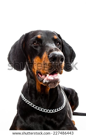 Portrait of a Doberman pinscher dog isolated on white - stock photo