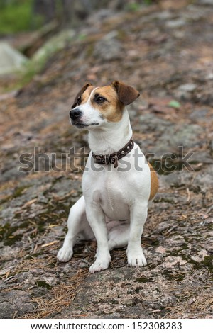 portrait of a dog breed Jack Russell Terrier - stock photo