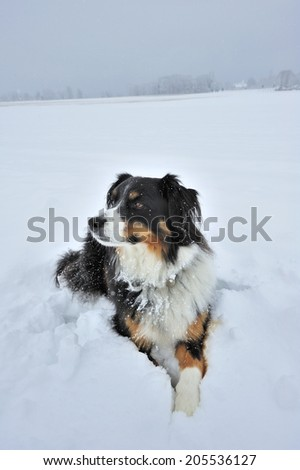 Portrait of a dog (cross between a Border Collie and an Appenzell breed) lying in the snow. Space for text in the sky or on the snow. - stock photo