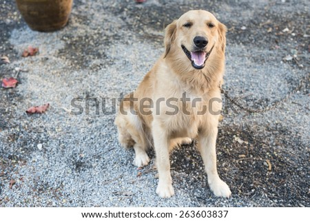 Portrait of a dog, golden retriever. - stock photo