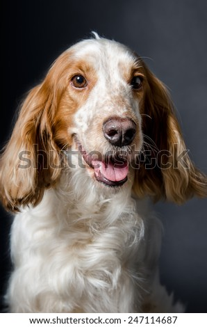 Portrait of a dog of breed Russian Spaniel - stock photo