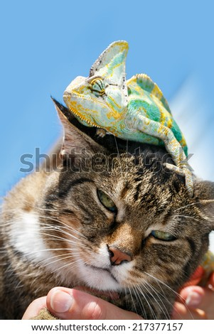 Portrait of a domestic cat close up with a chameleon on his head - stock photo