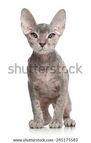 Portrait of a Don Sphynx kitten on white background - stock photo