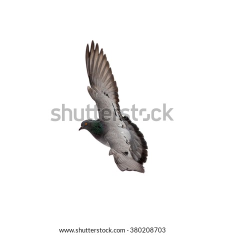 portrait of a dove in flight, isolated - stock photo