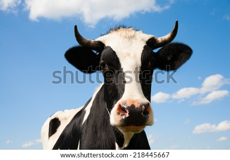 Portrait of a Dutch cow - stock photo