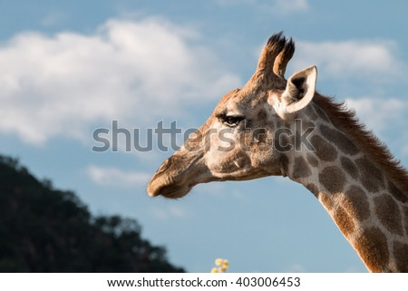 Portrait of a feeding giraffe (Giraffa camelopardalis) over blue sky with white clouds in Pilanesberg, South Africa - stock photo