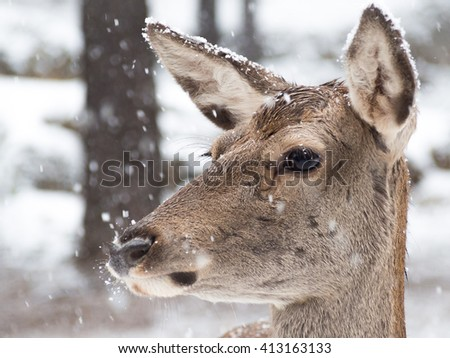 Portrait of a female iberian red deer (Cervus elaphus hispanicus) in the middle of the snowfall in the forest - stock photo