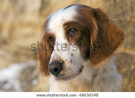 Portrait of a female Irish red and white setter - stock photo