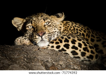 Portrait of a female Leopard at night lit by spotlight - stock photo