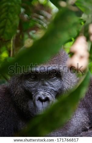 Portrait of a female of The western lowland gorilla (Gorilla gorilla gorilla) close up at a short distance. Democratic Republic of Congo. Africa - stock photo