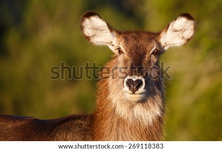 Portrait of a female waterbuck with large ears and shaggy coat - stock photo