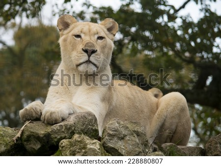 Portrait of a female white lion resting on a rock. - stock photo