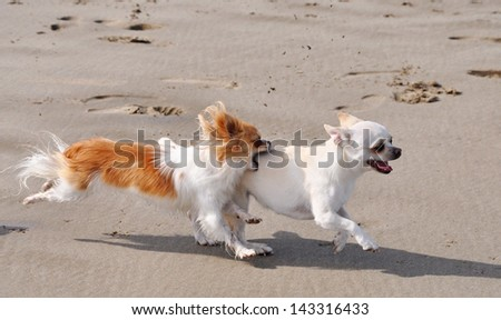 portrait of a fighting purebred  chihuahua on the beach - stock photo
