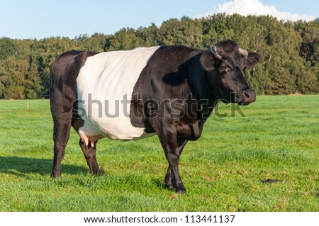 Portrait of a five years old Lakenvelder cow with udders and hackneyed horns standing and staring in a Dutch meadow. - stock photo
