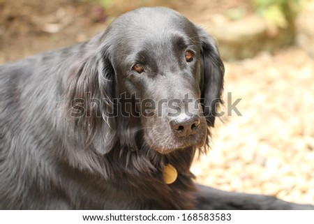 Portrait of a flat coated retriever - stock photo