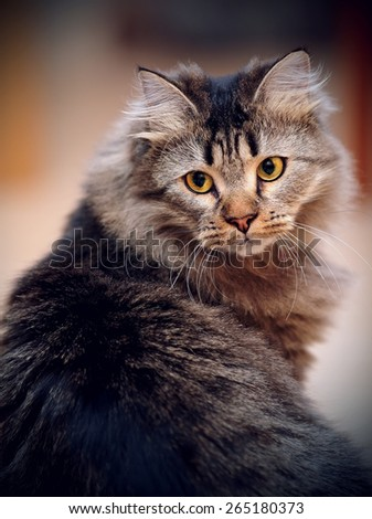 Portrait of a fluffy striped domestic cat. - stock photo