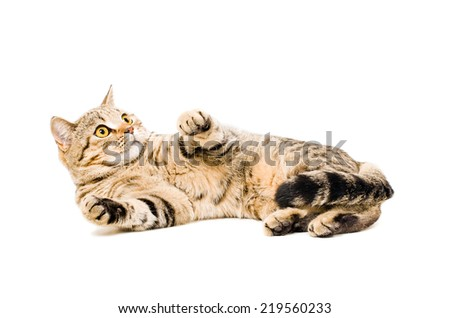 Portrait of a frightened cat Scottish Straight - stock photo