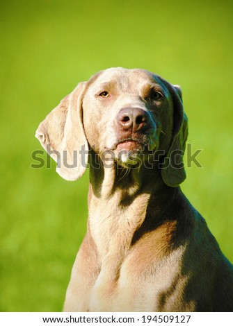portrait of a fun weimaraner dog puppy - stock photo