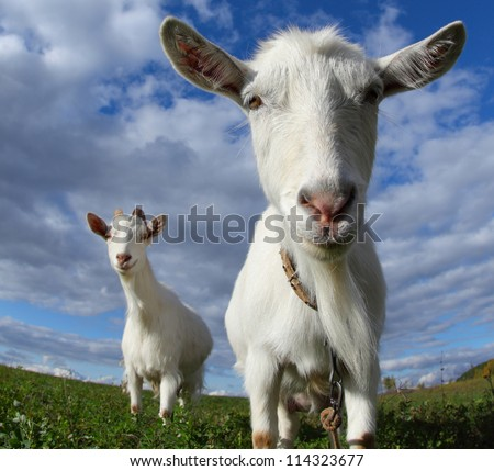 Portrait of a funny goats looking to a camera over blue sky background - stock photo