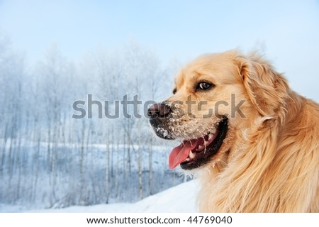 Portrait of a funny golden retriever - stock photo