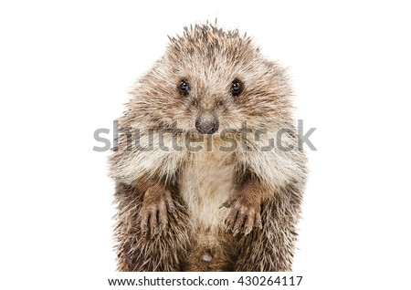 Portrait of a funny hedgehog standing on his hind legs isolated on a white background - stock photo