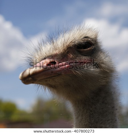Portrait of a funny ostrich - stock photo