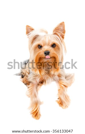 Portrait of a funny Yorkshire terrier isolated on white background - stock photo