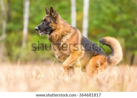 Portrait of a german shepherd dog. - stock photo