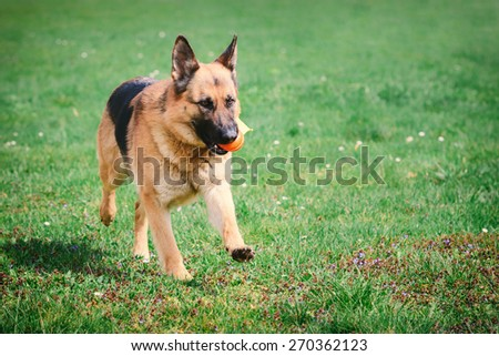 Portrait of a German Shepherd, which runs across the grass with ball in mouth - stock photo