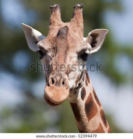 portrait of a giraffe (Camelopardalis) against green background (square) - stock photo
