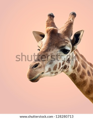 Portrait of a giraffe isolated on a over orange background - stock photo