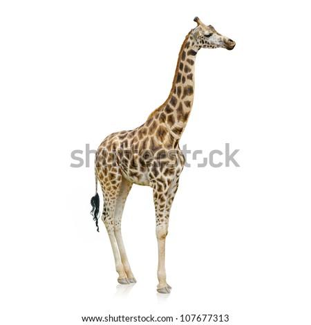 Portrait Of A Giraffe On White Background - stock photo