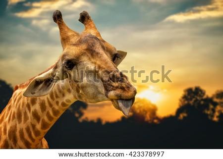 Portrait Of A Giraffe Show Tongue and orange sky background - stock photo