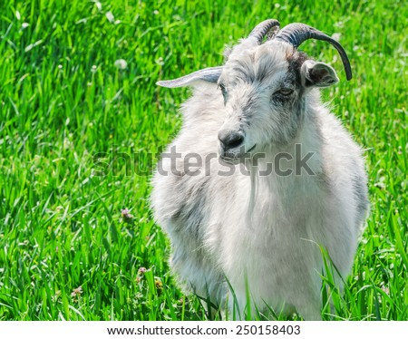 Portrait of a goat on a green meadow. - stock photo