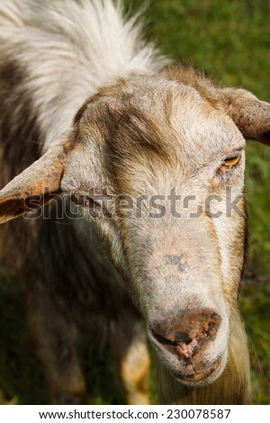 Portrait of a goat with a beard on a green pasture. Close-up. - stock photo