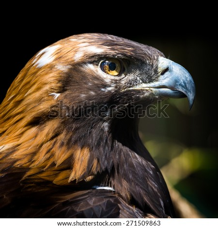 Portrait of a Golden Eagle. The golden eagle (Aquila chrysaetos) is one of the best-known birds of prey in the Northern Hemisphere. - stock photo