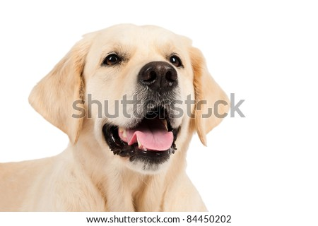 portrait of a golden retriever - stock photo