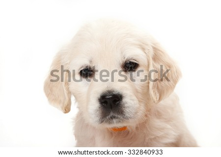 Portrait of a golden retriever puppy (isolated on white) - stock photo
