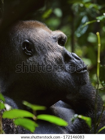 Portrait of a gorilla at a short distance. Silverback - adult male of a gorilla. Western Lowland Gorilla.  - stock photo
