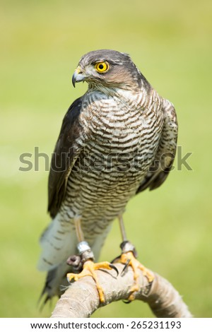Portrait of a goshawk on the meadow (Accipiter gentilis) - stock photo