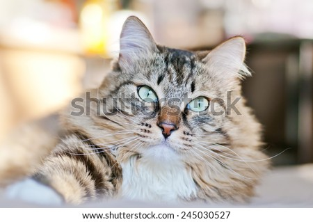 Portrait of a gray cat on the bed in the sun - stock photo