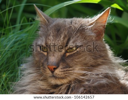 Portrait of a gray fluffy cat against a green grass. - stock photo